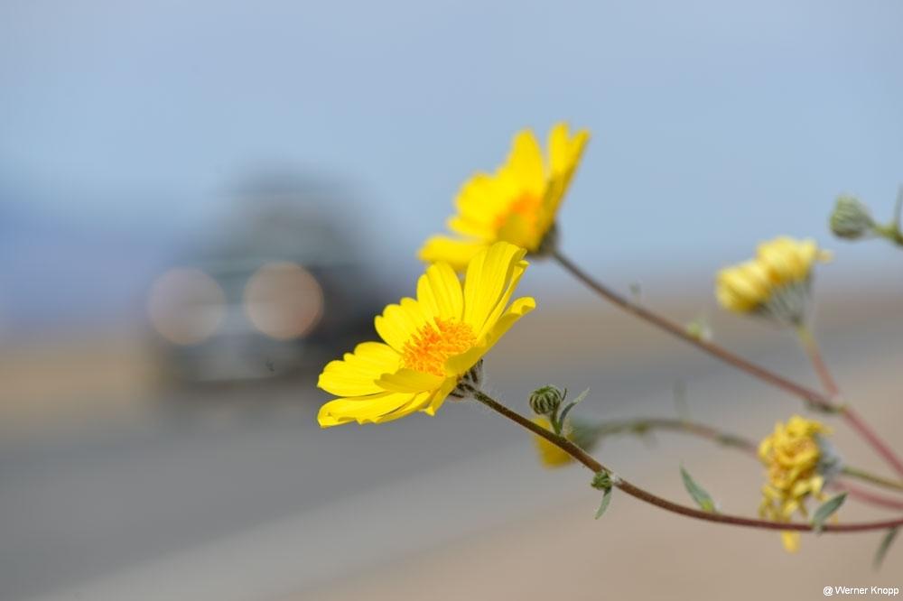 Auto-und-Blüte