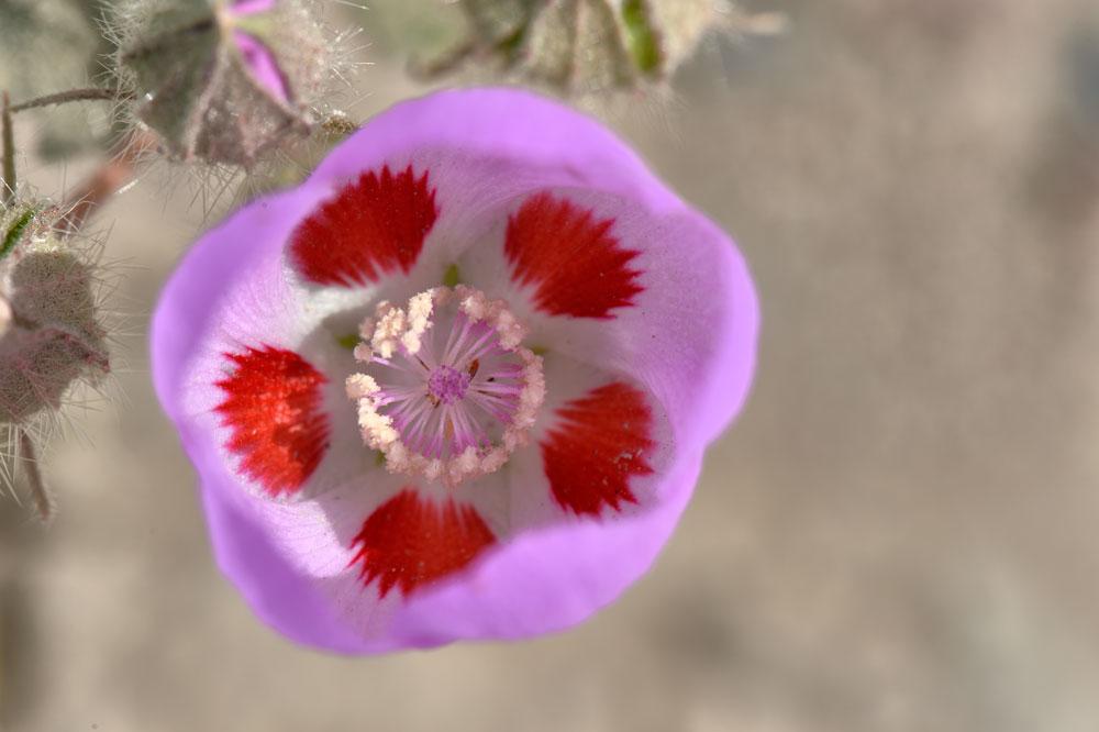 Blüte-im-Death-Valley